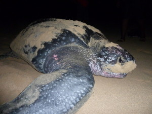 Closeup of Leatherback sea turtle on Trunk Bay Tortola, British Virgin Islands